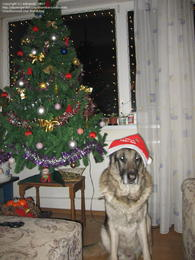 Boss sitting near the Christmas tree, with the Santa hat on his head