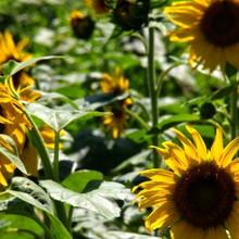 flower | Cheyenne Garden Gossip