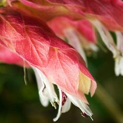 Justicia brandegeeana variegata