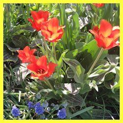 love the foliage on Greggii tulips