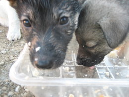 Two of the puppies finished eating barley with chicken