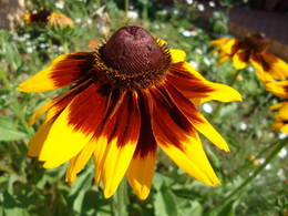 Rudbeckia 'Toto Rustic' bloom in my garden