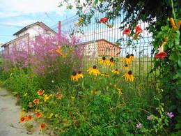 Rudbeckia 'Indian summer' clump in my garden
