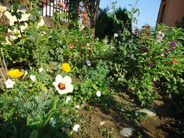 Hibiscus trionum in my garden