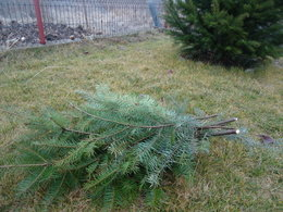 The lower branches I cut from my white spruce