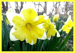 N. Cassatta, fragrant butterfly daffodil