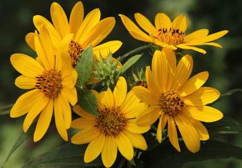 woodland sunflower