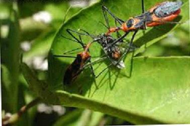 asassian bug