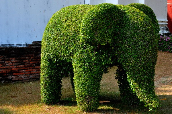 elephant shrub
