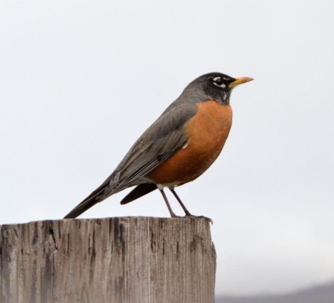 Bird Photos - PRIMAVERA, VERANO pájaros silvestres del patio trasero
