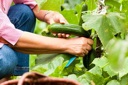 Harvesting And Storing Cucumbers