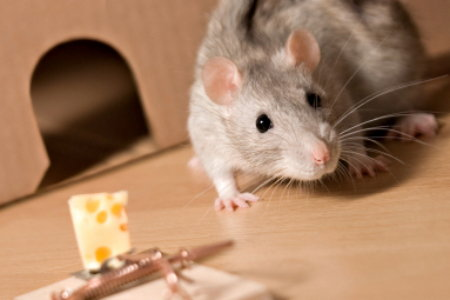 How To Eliminate Rats In The Home Doityourself Com