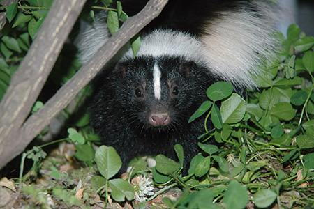 to catch a wild rabbit in your yard creating a natural skunk repellent