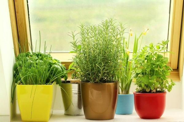 herbs in pots by window