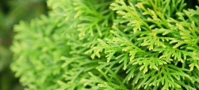 How To Plant Evergreen Shrubs Doityourself Com