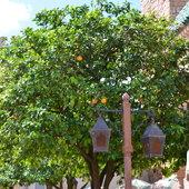 Orange tree.