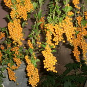 Duranta bearing fruits