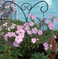 petunias in hanging basket