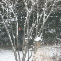 Male Cardinal on the Apple Serviceberry tree