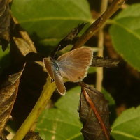Ceraunus Blue (Hemiargus ceraunus) Female