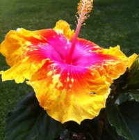 Enlightenment hibiscus