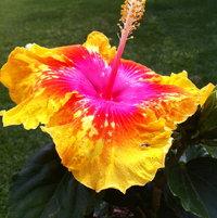 Enlightenment hibiscus