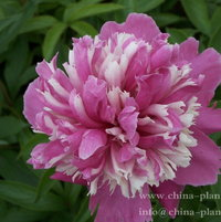 herbaceous peony magic flower in frost