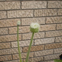 Bloomsforming seeds for more pots ofbunching type onions