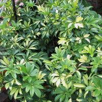 Schefflera arbicola