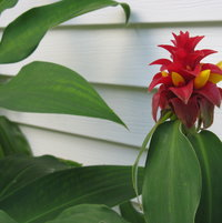 Spiral ginger bloom