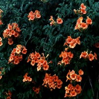 why doesn't mine look like this 12 years later no blooms