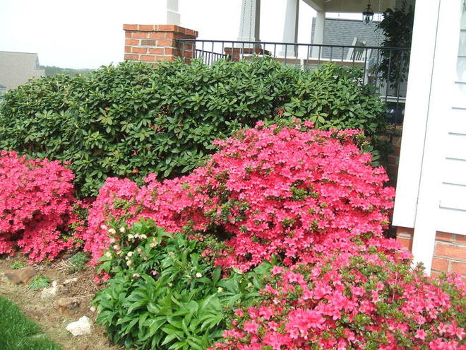 rhodies, azaleas, and lenten roses