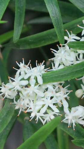 Asparagus Densiflorus flowers