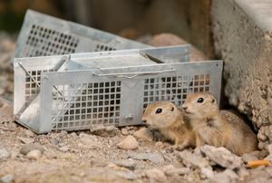 gophers near a metal box trap