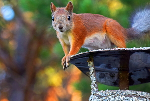 a squirrel on a Chimney Cowl