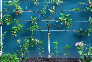 young espalier tree planted by a blue wall with supportive wiring