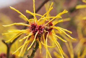 witch hazel tree blossom
