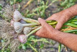 freshly harvested organic garlic