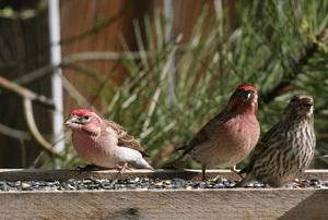 Three birds on a perch