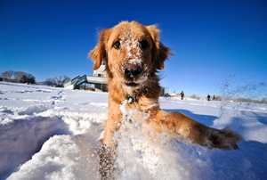 A dog plays in the snow.