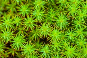 living sphagnum moss from above