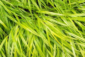 bright green hakone grass