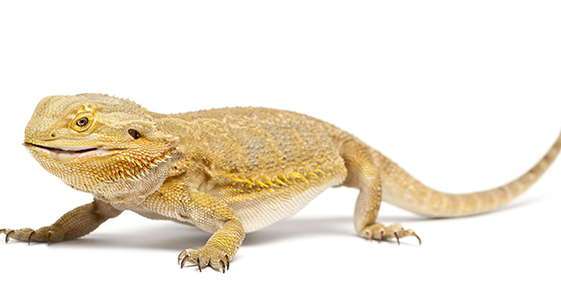 Image of a bearded dragon.