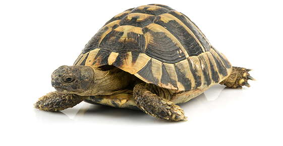 Image of a tortoise.