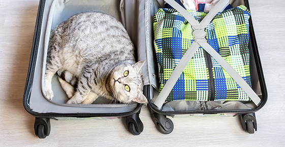 Gray cat in a suitcase.