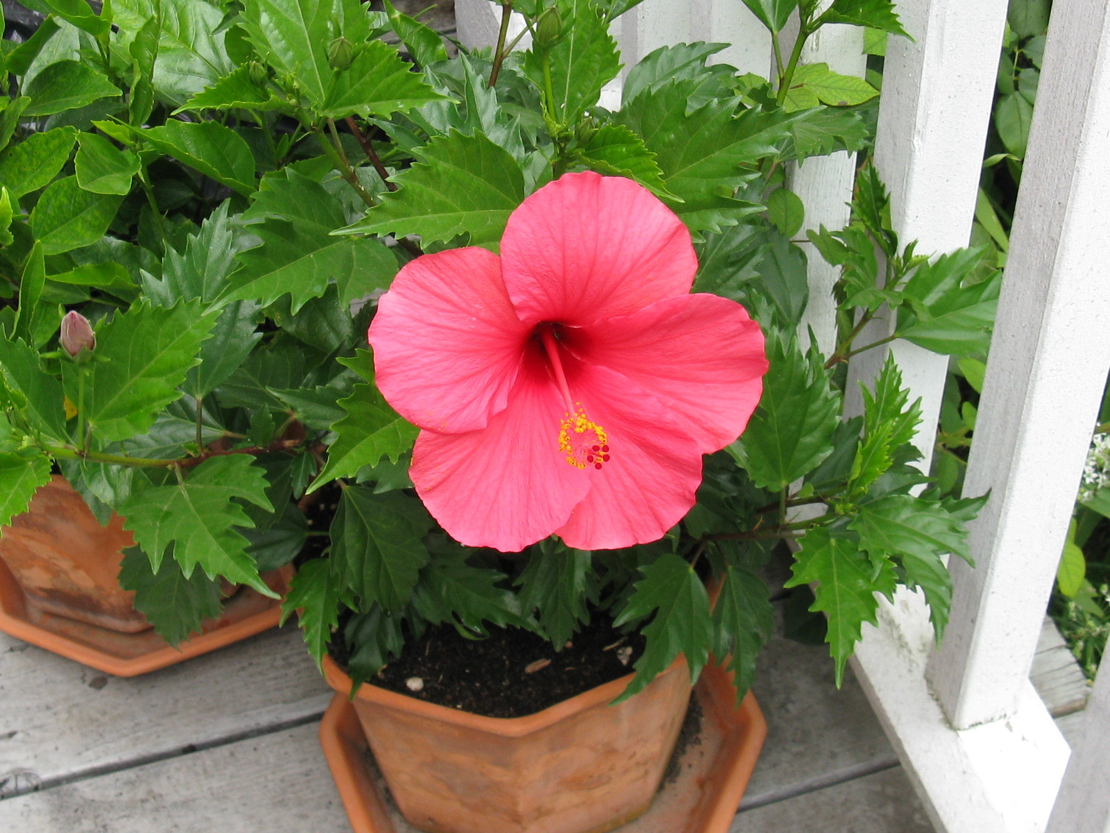 Tropical hibiscus in a pot