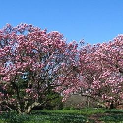 Pink saucer magnolias