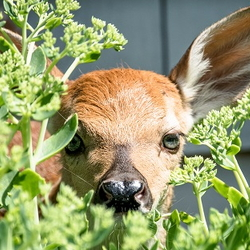 Deer peeking through foliage