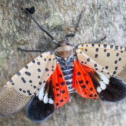 adult spotted lanternfly