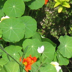 Nasturtiums, Verbena and other grown from seed plants
